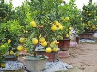 Five-fruit trees, plants shaped like rats popular for Tet