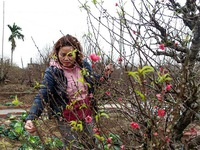 Hanoi's peach growers prepare blossoms for Tet holiday