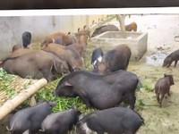 Băn khoăn về Thông tư danh mục thức ăn chăn nuôi