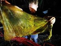 Cá voi chết vì nuốt 40 kg rác thải nhựa