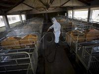 Trung Quốc kiểm soát được 90#phantram các nơi có dịch tả lợn châu Phi