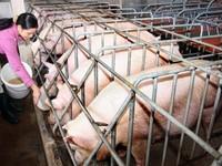 TP.HCM nỗ lực ngăn chặn dịch tả lợn châu Phi