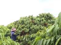 Cà phê Việt Nam 'đổ bộ' thị trường Nhật Bản