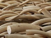 Danang seizes 9 tons of elephant tusks