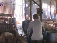 Tăng cường kiểm soát dịch tả lợn tại các tỉnh phía Nam