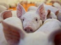 Dịch tả lợn châu Phi diễn biến phức tạp, có khả năng xâm nhập vào quy mô sản xuất lớn