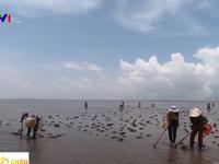 Trải nghiệm cào ốc móng tay buổi sáng sớm ở biển Thái Thụy, Thái Bình