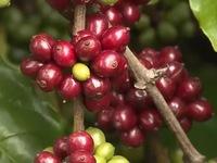 Giá cà phê xuống thấp kỷ lục