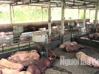 Hậu Giang hỗ trợ người chăn nuôi có lợn bị dịch bệnh tả châu Phi