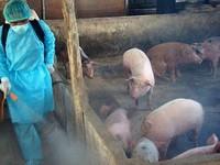 An toàn sinh học là vũ khí duy nhất hiệu quả phòng và dập dịch tả lợn châu Phi