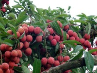 Bac Giang promotes lychee consumption in China
