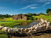 Buổi sáng ở đồng cừu An Hòa, Ninh Thuận