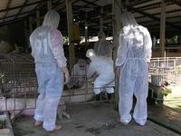 Sóc Trăng tiêu hủy gần 490 con lợn nhiễm dịch tả lợn châu Phi