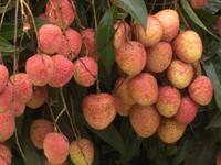 First batch of fresh Vietnamese lychee lands in Japan