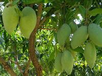 Export of Vietnamese mangoes increases