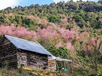 Cherry-like apricot trees to be planted in Lang Biang plateau