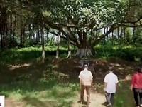 Cây đa Bác Hồ và phong trào trồng cây theo di chúc của Người