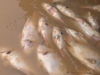 Cá nuôi ở Hà Tĩnh chết hàng loạt