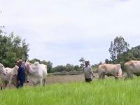 Lễ hội đua bò của đồng bào dân tộc Khmer