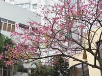 Japan cherry blossom festival in Hanoi