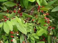 40% of Vietnam's cacoa qualified as fine flavor