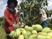 Mangoes grown under Vietgap standards achieve high sales