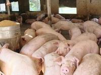Khuyến nghị doanh nghiệp chăn nuôi giảm giá thịt lợn xuống dưới 75.000 đồng/kg