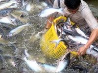 Ngành cá tra liên kết để vượt khó