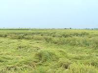 Mưa lớn gây thiệt hại hàng ngàn ha lúa