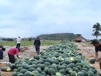 Hơn 1.200 ha dưa hấu không tiêu thụ được