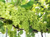 Vietnam becomes largest grape importer of RoK