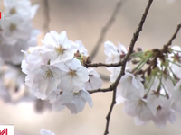Nguy cơ lây nhiễm COVID-19 tại Nhật Bản khi tụ tập ngắm hoa anh đào