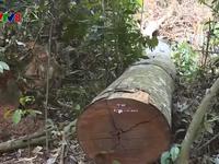 Rừng tiếp tục bị tàn phá