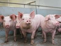 Nhẫn tâm bán lợn giống nhiễm tả lợn châu Phi cho nông dân