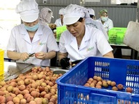 "Hai Duong exports first batch of ""thieu"" lychee to Japan"