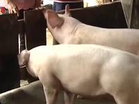 Dịch tả lợn Châu Phi tái phát tại Đắk Lắk