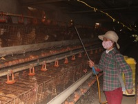 Hà Nam culls hundreds of poultry to stem bird flu outbreak