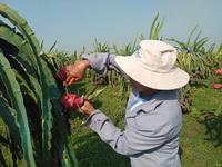 Binh Thuan's dragon fruit granted PGI in Japan