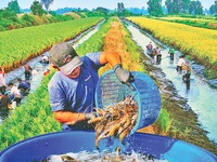 New direction for Ca Mau's rice and shrimp farming