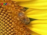 Huấn luyện ong phát hiện virus SARS-COV-2
