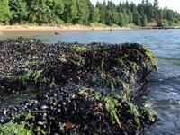Nắng nóng 'nấu chín' sinh vật biển ở Canada
