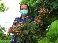 Hợp tác xã đầu tiên tại Hưng Yên xuất khẩu nhãn sang EU
