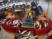 Kim ngạch xuất khẩu thủy sản 6 tháng đạt 4,1 tỷ USD