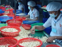Vietnam's cashew nut exports to Russia up 29.2%