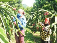 Hai Duong's dragon fruits get cultivation zone codes for export