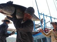 Vietnam's tuna exports to EU see strong surge thanks to EVFTA
