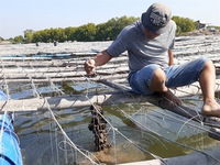 Bà Rịa – Vũng Tàu farmers expand breeding ofPacific oysters