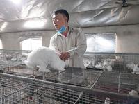 Tuyên Quang rabbit farmer profits from raising New Zealand breed