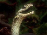 Nọc rắn độc đen châu Phi có khả năng giảm đau