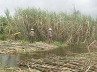 Hậu Giang: Nông dân trồng mía điêu đứng vì lũ